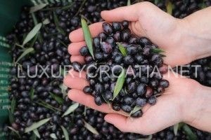 olives harvesting - daily excursion by LuxuryCroatia.net