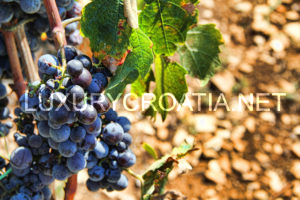 Solta,island of wine and olives